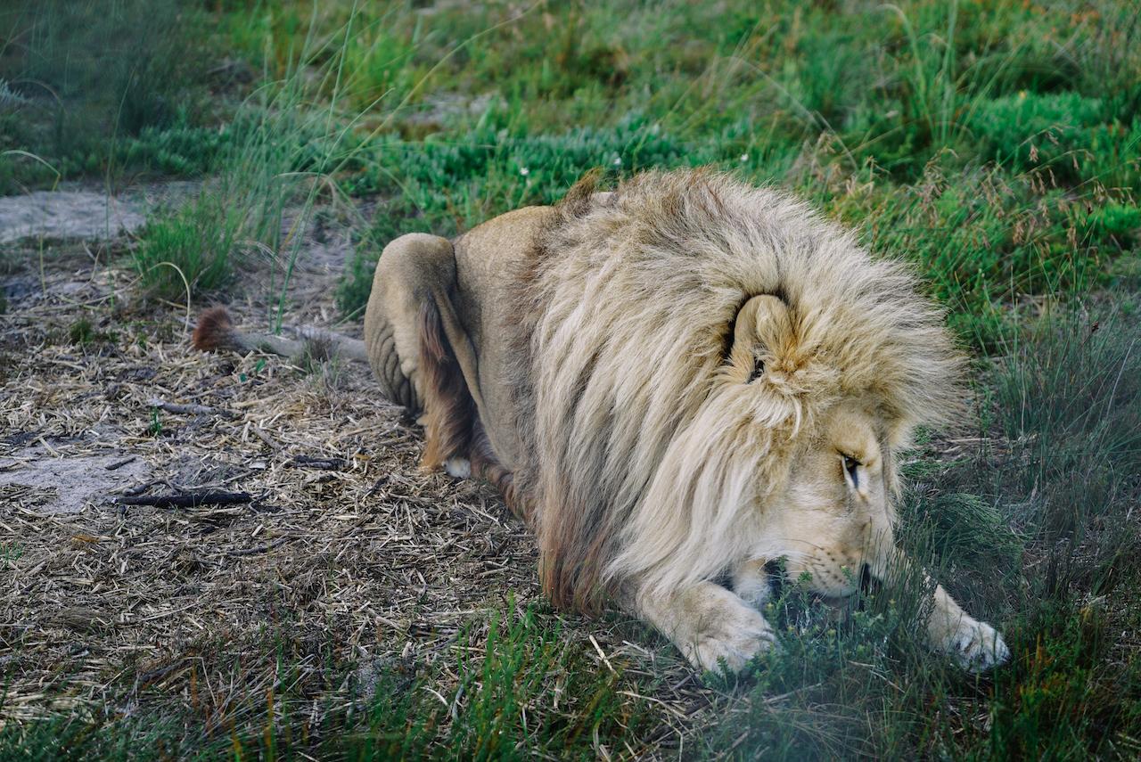 Volunteer-Arbeit mit Großkatzen: Das grausame Geschäft der Löwenzuchtfarmen