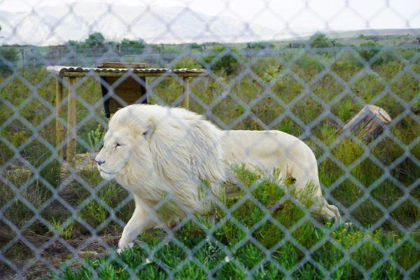 Großkatzen02